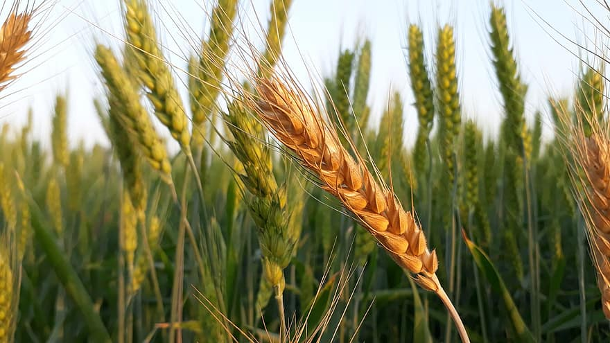 wheat cereal bread crop straw seed farm agriculture field copia